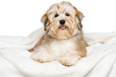 Happy Bichon Havanese puppy on a white bedspread Stock Images