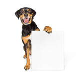 Happy Big Dog Carrying Blank Sign Royalty Free Stock Photos