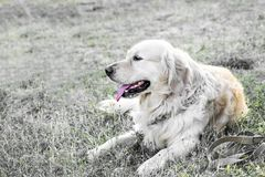 Happy big dog Golden retriever lying and resting on grass outdooor at sunner day at fild. Family dog. Stock Images