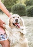 Happy big dog Golden retriever smiling with tongue hanging out giving paw to owner and looking to camera at sunner park Royalty Free Stock Image