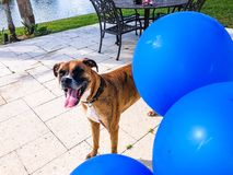 happy big dog plays with a balloon Stock Images