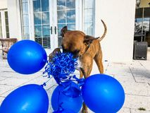 happy big dog plays with a balloon Stock Photo