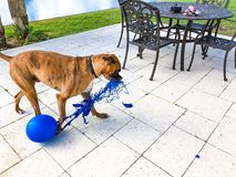 happy big dog plays with a balloon Royalty Free Stock Photography