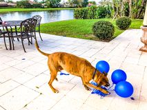 happy big dog plays with a balloon Royalty Free Stock Image
