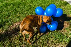 Happy big dog plays with a balloon Stock Photos