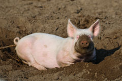 Happy biological Pig stock photography