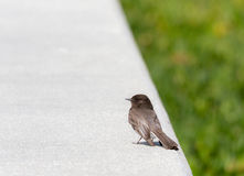 Happy Bird. A bird sits on a concrete fence Royalty Free Stock Photography