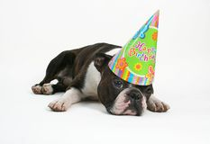 Happy birthday. Boston terrier with a birthday hat on Royalty Free Stock Image