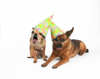 HAPPY BIRTHDAY!. Two dogs with birthday hats on their heads Royalty Free Stock Images