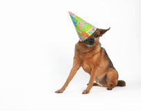 Happy birthday. A chihuahua mix with a birthday hat on Stock Photos