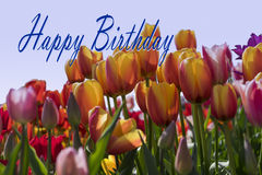 Happy Birthday. Card with Tulip flowers royalty free stock photos
