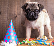 Happy Birthday Cute Pug Puppy Royalty Free Stock Images