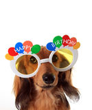 Happy Birthday dachshund royalty free stock photo