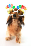 Happy Birthday dachshund royalty free stock images