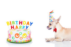 Happy birthday dog. Chihuahua dog  hungry for a happy birthday cake with candels ,wearing  red tie and party hat  , isolated on white background Stock Images