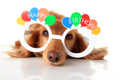 Happy Birthday dog. Dachshund puppy wearing Happy Birthday glasses. Also available in vertical royalty free stock images