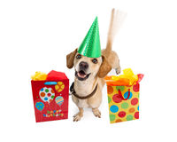 Happy Birthday Dog With Gift Bags. A cute young puppy dog wearing a birthday hat next to colorful gift bags. Intentional motion blur from a wagging tail Royalty Free Stock Image