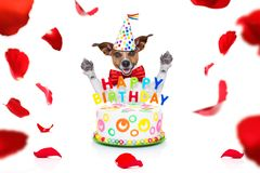 Happy birthday dog. Happy  birthday jack russell dog with a present or gift with lots of roses flying around in love for valentines or aniversary, isolated on stock photography