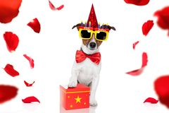 Happy birthday dog. Happy  birthday jack russell dog with a present or gift with lots of roses flying around in love for valentines or aniversary, isolated on stock photos