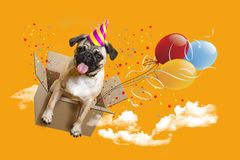 Happy Birthday. Dog pug in a box, balloons stock images