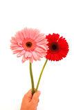 Happy birthday flowers hand. A female Caucasian white hand holding two beautiful Gerber flowers in red and pink. Image isolated on white studio background stock image