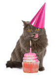 Happy Birthday Party Cat With Pink Cupcake. Funny photo of a cute cat wearing a pink birthday party hat with her tongue sticking out licking lips in anticipation Royalty Free Stock Images