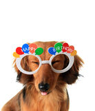 Happy Birthday puppy. Funny Happy Birthday dachshund puppy with eyes closed and tongue sticking out stock image