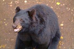 Happy black bear. Black bear close-up Stock Photography