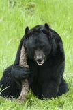 Happy black bear with big stick in green grass Stock Photo