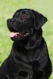 Happy black dog Labrador Retriever Stock Photography