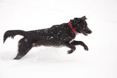 Happy black dog playing in deep snow Royalty Free Stock Image