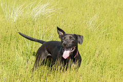 Happy black dog playing in long grass Stock Photo