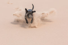 Happy black dog running through sand Stock Photo