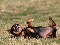 Happy black fat lovely miniature pinscher Stock Photo