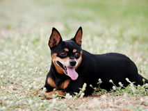 Happy black fat lovely miniature pinscher Stock Image