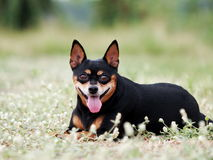 Happy black fat lovely miniature pinscher Royalty Free Stock Photography