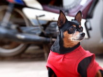 Happy black fat lovely miniature pinscher Royalty Free Stock Photo
