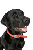Happy Black Labrador Stock Image