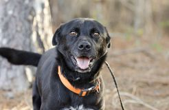 Happy black Labrador Feist mixed breed dog with orange collar royalty free stock photography