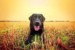 Happy black labrador. Royalty Free Stock Image