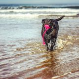 Happy Black Labrador playing in the sea. Happy looking dog fetching toy from the sea Royalty Free Stock Photography
