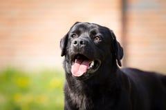 Happy black labrador retriever dog Stock Image