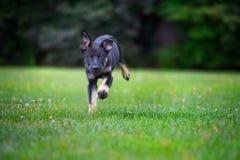 Happy black shepherd puppy running in park royalty free stock photo