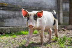 Happy black spotted piglet in grass Stock Photos