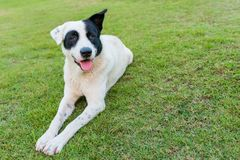 Happy black and white dog on green grass Royalty Free Stock Photos