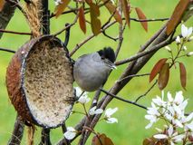 Happy Blackcap royalty free stock photos