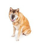 Happy Blind Akita Dog Royalty Free Stock Photo