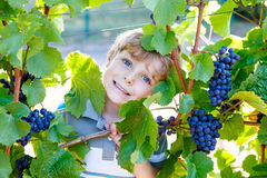 Happy blond kid boy with ripe blue grapes Royalty Free Stock Image