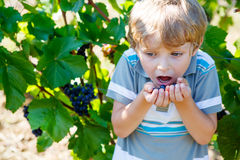 Happy blond kid boy with ripe blue grapes Stock Photography