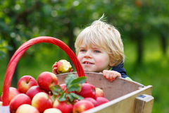 Happy blond toddler with wooden trolley full of organic red appl Stock Photo